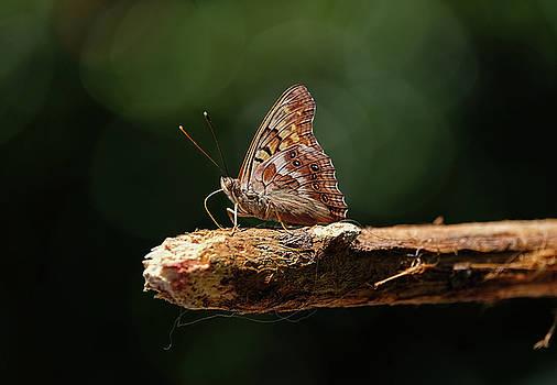Tawny Emperor Butterfly by Ronda Ryan