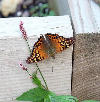 Tawny Emperor Butterfly wingspread by Ronda Ryan