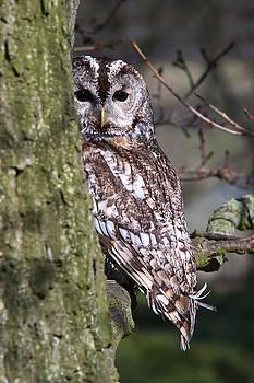 Tawny Owl in a Woodland by Andy Myatt