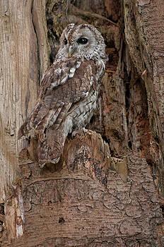 Tawny Owl by Suesy Fulton