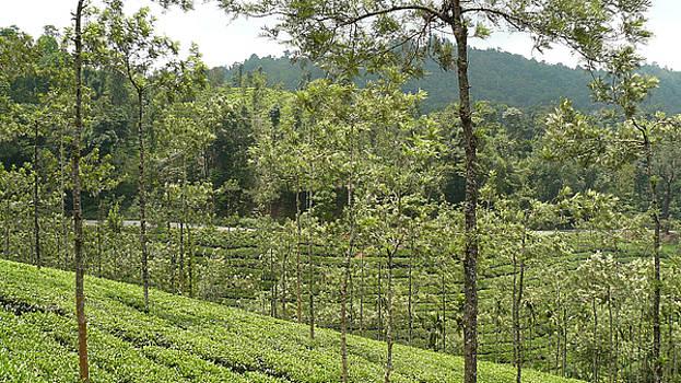 Tea Garden - 2 by Sandeep Gangadharan
