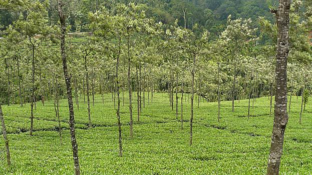Tea Garden - 3 by Sandeep Gangadharan
