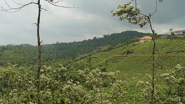 Tea Garden - 4 by Sandeep Gangadharan