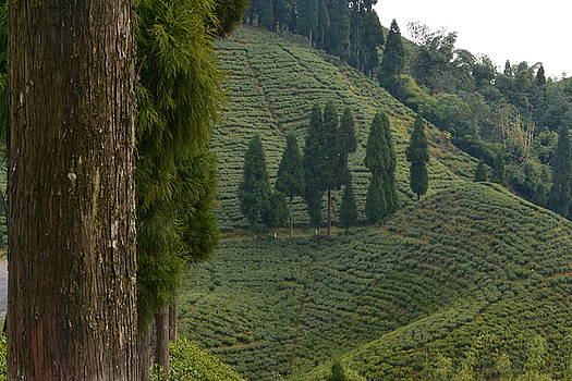 Tea garden In Darjeeling by Atul Daimari