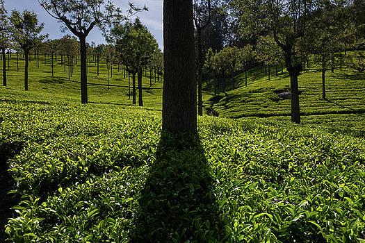 Tea by Marji Lang