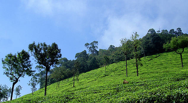 Tea Plantation near Ooty, India by Misentropy