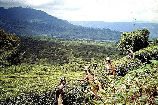 Tea plantation, West Bengal by Barron Holland