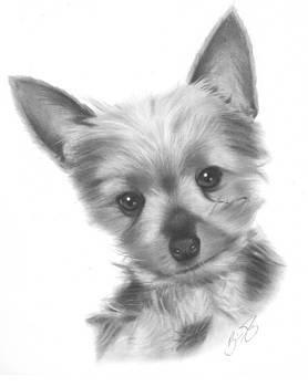 Teacup Yorkie Pencil Drawing by Brian Duey