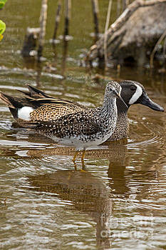 Teal and Yellowlegs by Natural Focal Point Photography