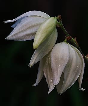 Joy Bradley - Tears of a Yucca Flower