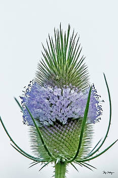 Teasel on White by Skip Tribby