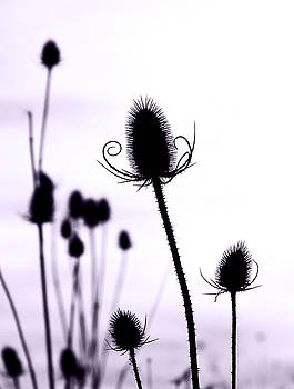 Teasels in a French Field  I by Gareth Davies