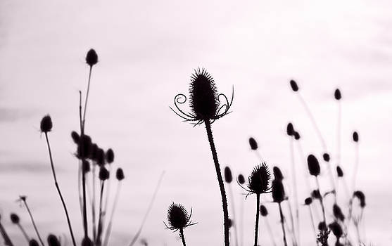 Teasels in a French Field  II by Gareth Davies