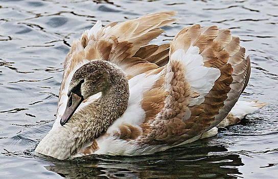 Teen Swan by DVP Artography
