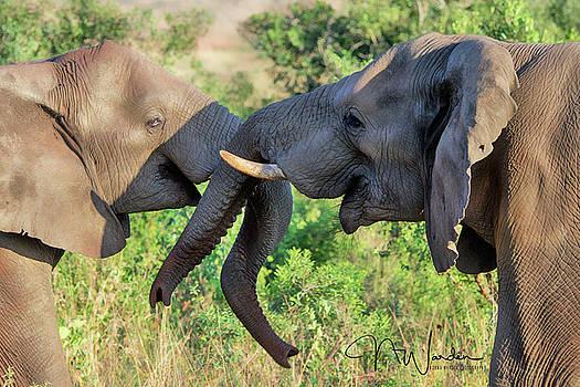Teenage Elephants Tussle by Norma Warden