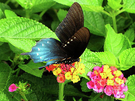 Tennessee Blue and Black Wing Butterfly by Ron Tackett