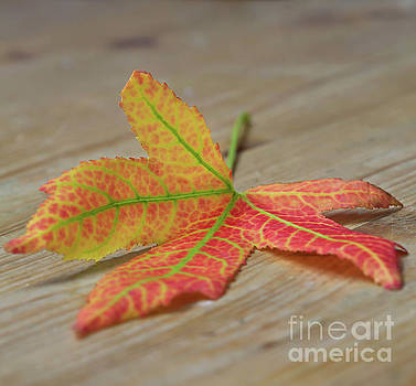 Tequila Maple by Tracy Hall