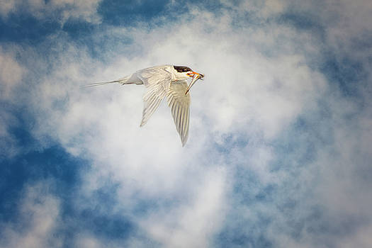 Susan Gary - Tern in Flight with Fish