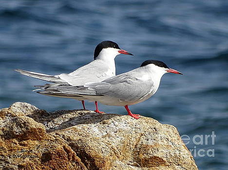 Terns On A Rock by Lainie Wrightson