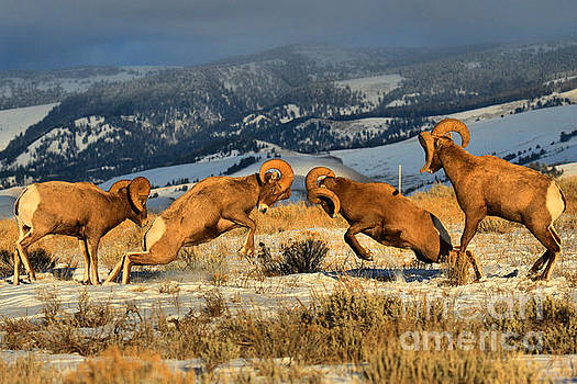 Adam Jewell - Teton Bighorn Brawlers Crop 2