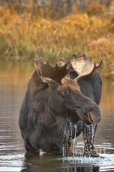 Adam Jewell - Teton Moose Lunch Drool