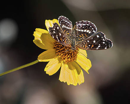 Rosemary Woods-Desert Rose Images - Texan Crescent Butterfly on Marigold-img_1348-2016