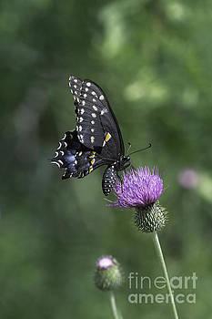 Tim Moore - Texas Black Swallowtail