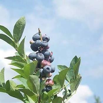 Texas Blueberries by Barbie Reno