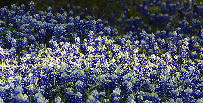 Texas Bluebonnets IV by Greg Reed