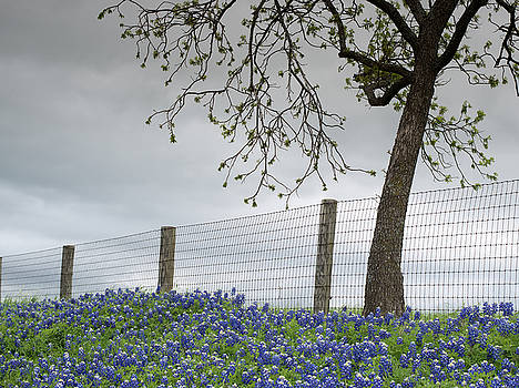 Texas Bluebonnets v2 041315 by Rospotte Photography