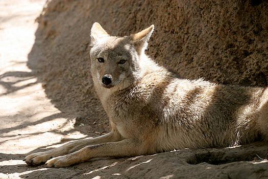 Jeannie Burleson - Texas Coyote