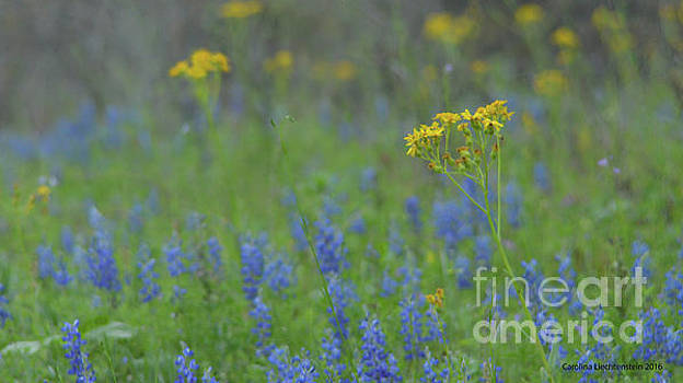 Texas Field With Blue Bonnets by Carolina Liechtenstein