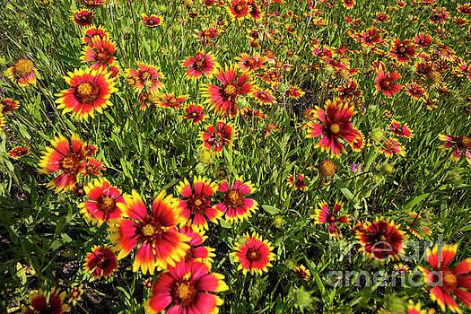 Herronstock Prints - Texas Hill Country wildflowers - Indian Blanket Firewheels, Marb