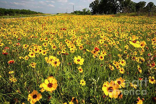 Herronstock Prints - Texas Hill Country wildflowers - Stunning field of Yellow Daisy