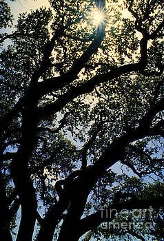 Jerry McElroy - Texas Live Oak