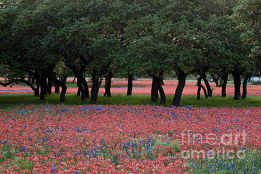 Herronstock Prints - Texas live oaks surrounded by a field of Indian paintbrush and b