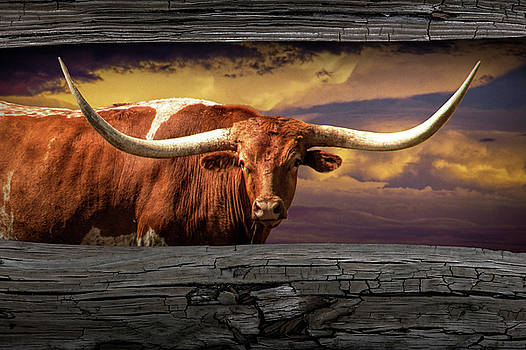 Randall Nyhof - Texas Longhorn Steer at Sunset looking through the Fence Rails