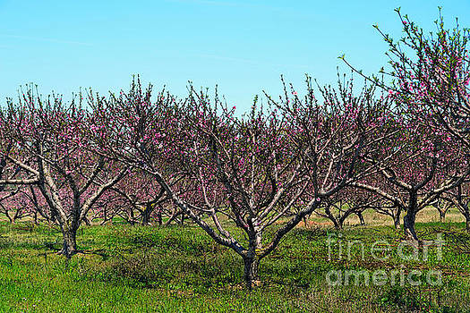 Texas Peach Orchard in Bloom by Catherine Sherman