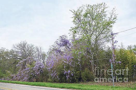 Texas Roadside Wisteria in Bloom by Catherine Sherman