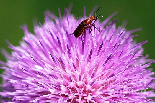 Texas Thistle Bug 1 by Patricia Alexander