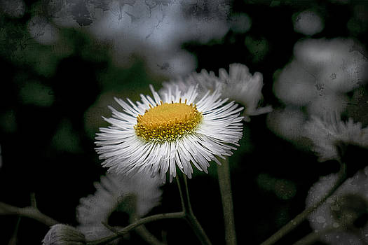 Textured Daisy by Jorge Perez - BlueBeardImagery