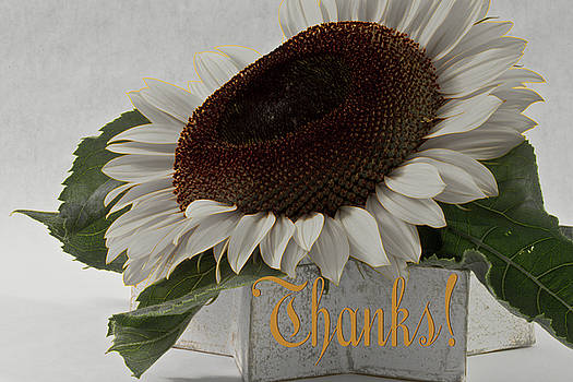 Sandra Foster - Thanks - Short Petal Albino Sunflower