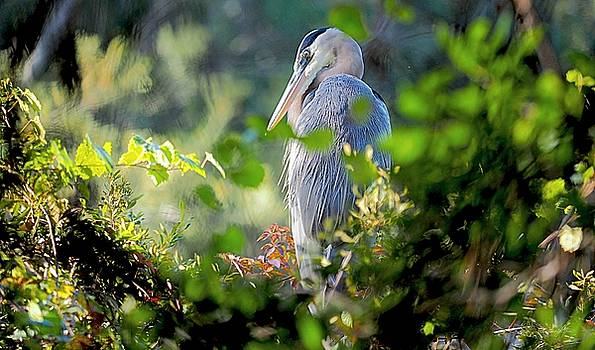 Thanksgiving Blue Heron by William Bosley