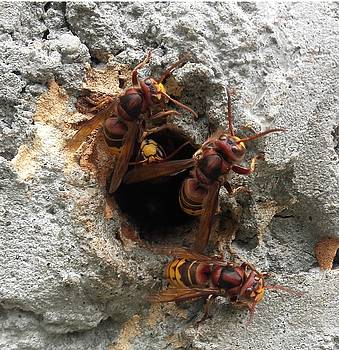 The 4 hornets by Giuseppe Epifani