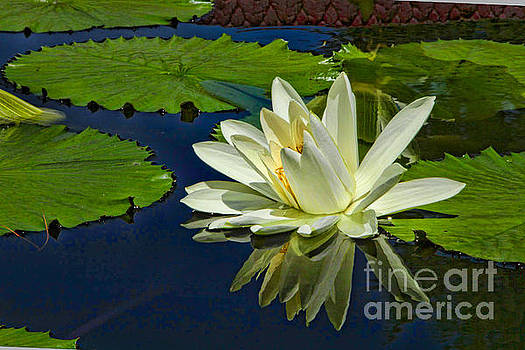 The Art of the Waterlily by Marilyn Cornwell