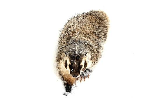 The Badger by Bryan Smith