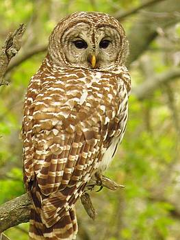 The Barred Owl by Lori Frisch