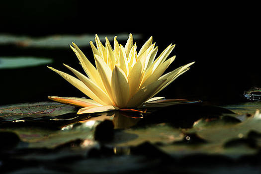 The beauty of a lily by Arvind T Akki