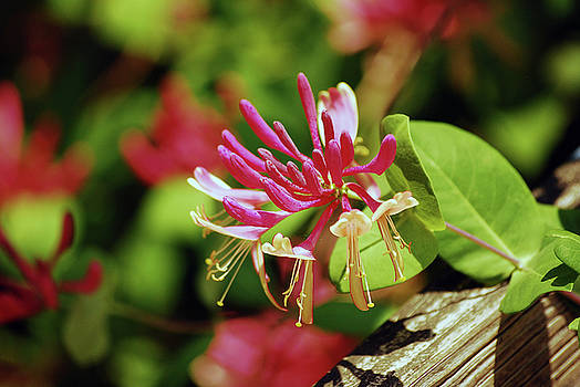 The Beauty of Honeysuckle by Lori Tambakis