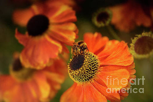 The Bee and the Helenium by Ann Garrett
